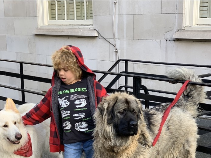 Imported Caucasian Mountain Dog - Female for Sale