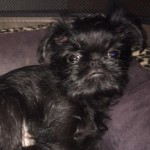 Griffon Belge Pedigree Puppy