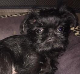 Pets  - Griffon Belge Pedigree Puppy