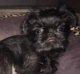 Griffon Belge Pedigree Puppy
