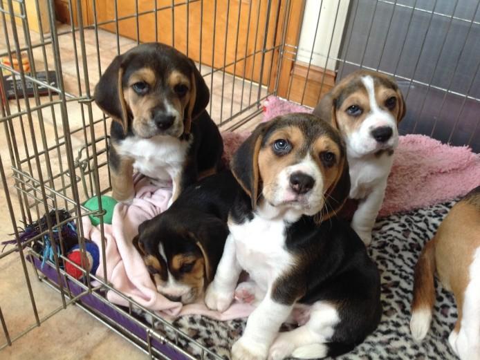 Stunning KC Beagle Puppies