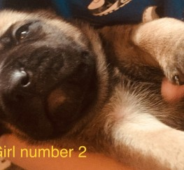 Pets for Sale - Bull mastiff x rottie