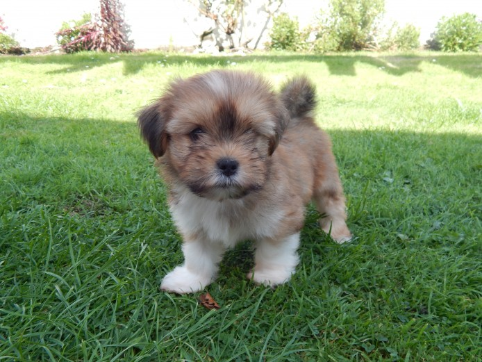 Adorable Lhasa Apso pup