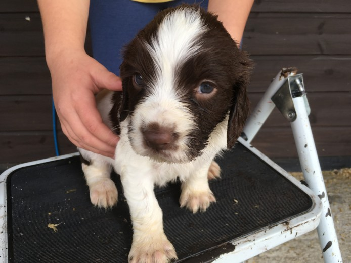 Springer Spaniel puppies 3 boys ready now
