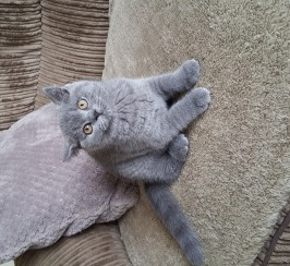 Blue female British Shorthair kitten