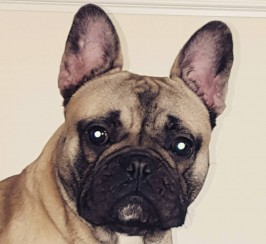 15 month old French bulldog
