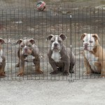 Lilac Tri English Bulldogs / also Lilac and Lilac Fawn / 5 males 1 female