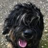 Pets  - Portuguese Sheepdog Puppy
