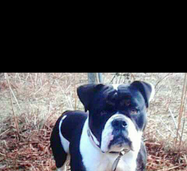 Black tri old English bulldog