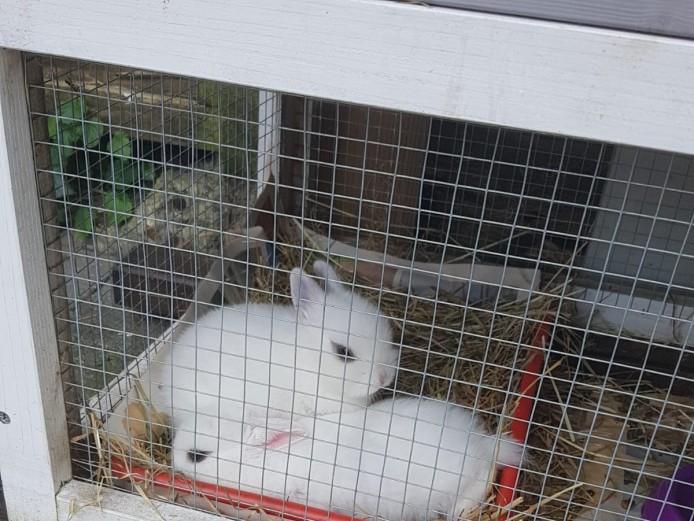 2 cute female Netherland dwarf bunnies for sale