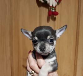 S/c chihuahua pups