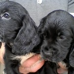 KC reg Cocker Spaniels