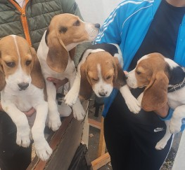 Pets  - Beagle pups for sale