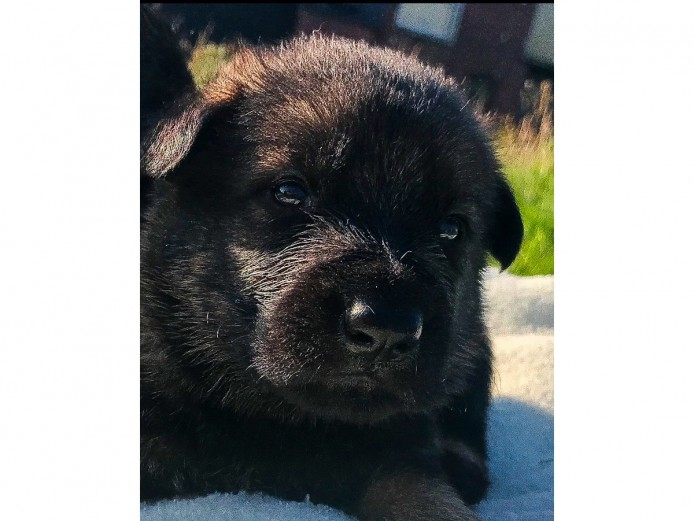 *** Czech German Shepherd puppies ***