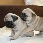 Champion Blood Line Pug Puppies