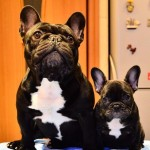 French Bulldog Puppies Available