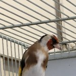 BEAUTIFUL SIBERIAN GOLDFINCH FOR SALE