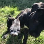 13 Week Male Cane Corso- With All Accesories