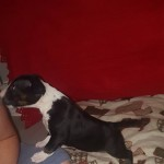 KC reg English bull terrier puppies