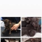 Tiny pedigree chocolate chihuahua puppies