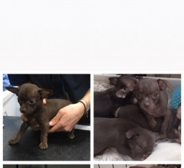 Tiny pedigree chocolate chihuahua puppies