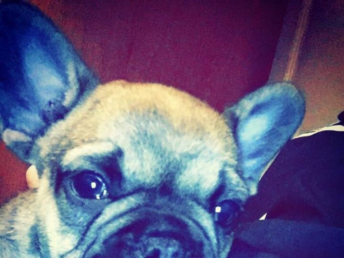 Ready now kc Male french bulldog