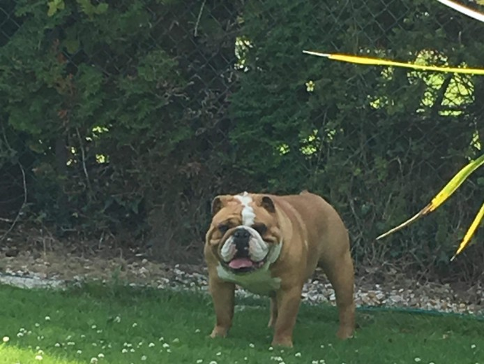 STUNNING KC REG FAWN FEMALE BULLDOG