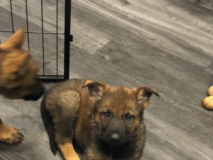Sable pure bred German Sheperd Pups