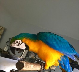 Speaks blue & gold macaw