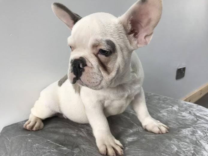 French bulldog pup blue tan poss Choc