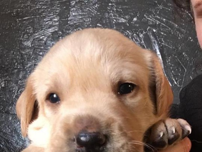 Fox-red/yellow boy Labrador puppies for sale