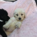 Labradoodle puppies xx