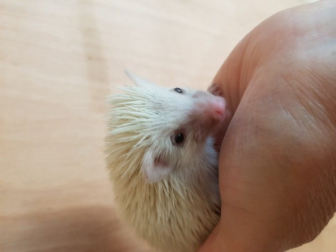 Pygmy hedgehog girl ready 21 Dec