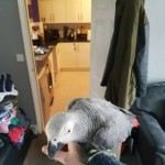African grey parrot very tame inc cage n toys