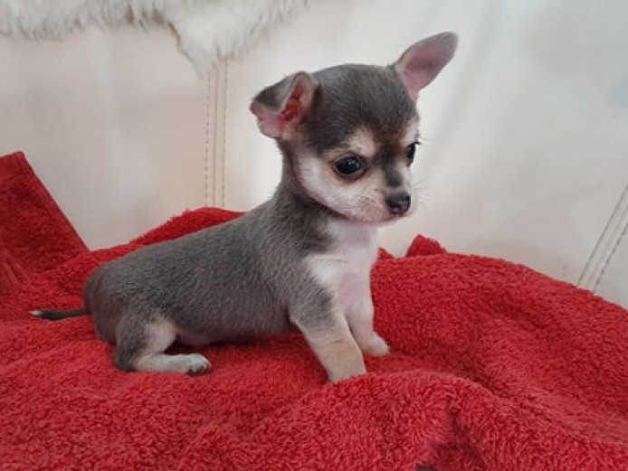 PURE CHIHUAHUA PUPPIES FOR SALE