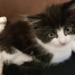 6 part Norwegian Forest kittens for sale