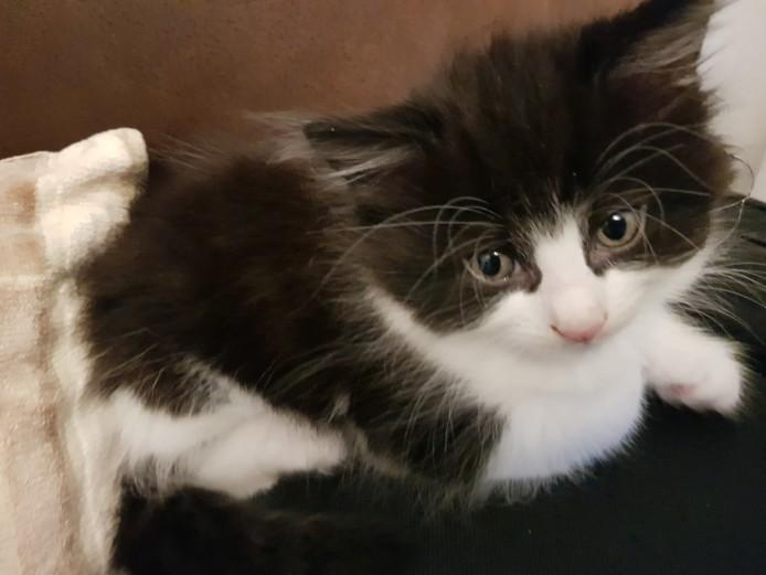 6 part Norwegian Forest kittens for sale