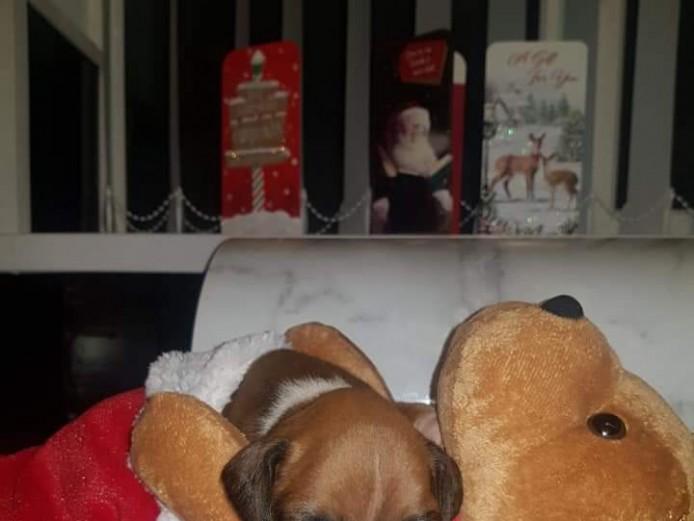 Quality kc reg boxer puppys-