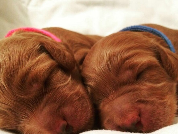 Beautiful F1b Fox Red Toy Cockapoo Puppies