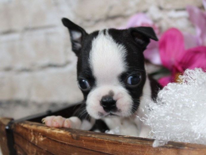 7 show quality puppies from health tested parents