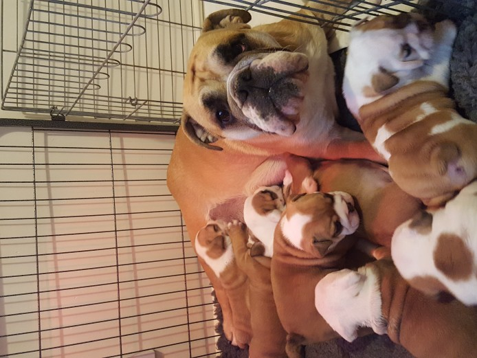 Stunning english bulldog puppies *Straight tails*