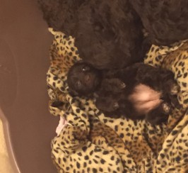 Chocolate cockapoo pups