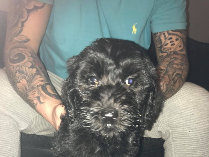 Georgous labradoodle puppies for sale