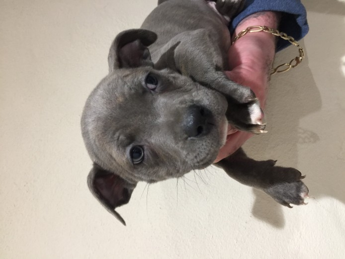 Staffordshire bull terrier puppies ready for new home