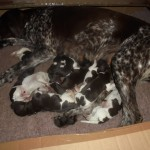 German Shorthaired Pointer Pedigree Puppies for sale