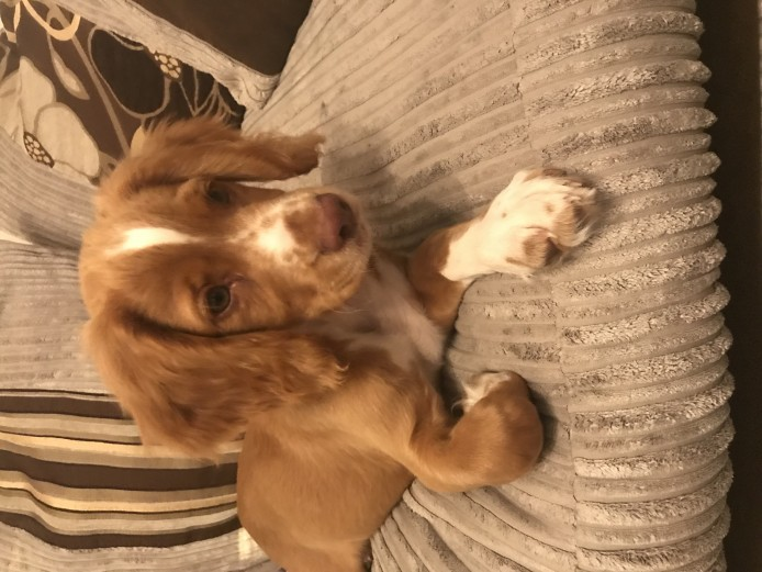 Working Cocker Spaniel Puppy Male