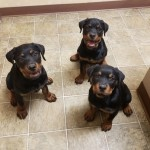 Highest Quality Rottweiler Puppies