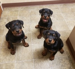 Pets  - Highest Quality Rottweiler Puppies