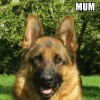 Pets  - Stunning KC registered puppies for sale