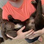 Mixed litter Sprocker Spaniel puppies